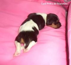Filhote Terrier Brasileiro Fêmea Tricolor de Preto Disponível para reserva! Liberada a partir de: 16/10/17. Visite nossa página! Terrier Brasileiro Fox Paulistinha http://www.canilpguaratiba.com/index.html