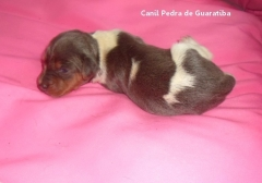 Disponível para reserva! Fêmea Tricolor de Azul Filhote Terrier Brasileiro Liberada a partir de: 16/10/17. Visite nossa página! Terrier Brasileiro Fox Paulistinha http://www.canilpguaratiba.com/index.html