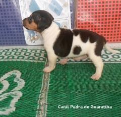 Disponível para reserva! Fêmea Tricolor de Preto. Liberada a partir de: 16/10/17. Visite nossa página! Terrier Brasileiro Fox Paulistinha http://www.canilpguaratiba.com/index.html