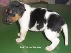 FÊmeas disponíveis! tricolor de preto. nascimento: 01/09/17. visite nossa página! terrier brasileiro fox paulistinha http://www.canilpguaratiba.com/index.html
