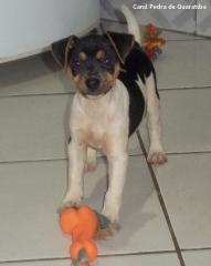 FÊmeas disponível! tricolor de preto. nascimento: 01/09/17. visite nossa página! terrier brasileiro fox paulistinha http://www.canilpguaratiba.com/index.html