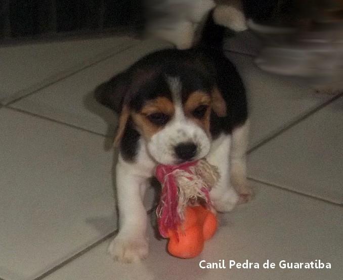 FÊMEA TRICOLOR DISPONÍVEL! Raça Beagle! Nascimento: 24/09/17. Visite nossa página! http://www.canilpguaratiba.com/index.html
