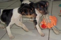 FÊmeas disponíveis! tricolores de preto. nascimento: 01/09/17. visite nossa página! terrier brasileiro fox paulistinha http://www.canilpguaratiba.com/index.html