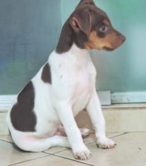 Terrier brasileiro (fox paulistinha)! macho tricolor de fígado. excelente temperamento! visite nossa página! canil pedra de guaratiba http://www.canilpguaratiba.com/index.html