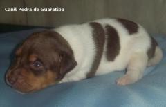 Macho disponível para reserva! tricolor de marrom. nascimento: 26/11/17. visite nossa página! terrier brasileiro fox paulistinha http://www.canilpguaratiba.com/index.html