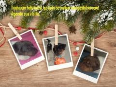 Filhotes disponíveis! visite nossa página! terrier brasileiro fox paulistinha http://www.canilpguaratiba.com/index.html