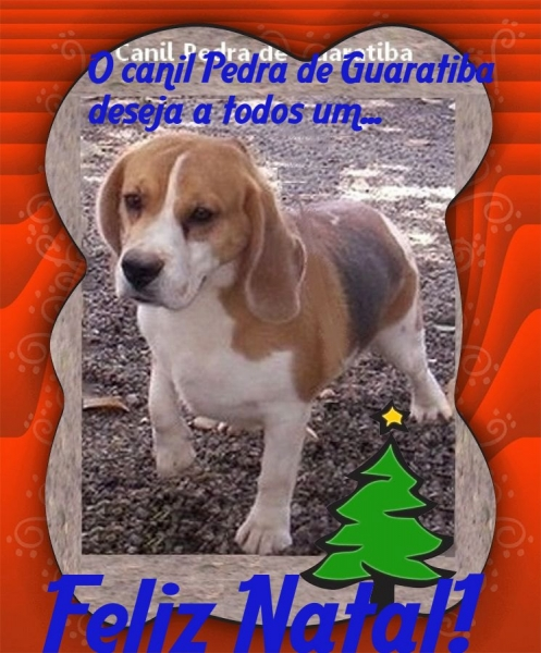Flash da Pedra de Guaratiba Macho tricolor - Plantel! Visite nossa página! Beagle! http://www.canilpguaratiba.com/index.html