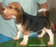 FÊmea tricolor disponível! raça beagle! nascimento: 24/09/17. visite nossa página! não perca essa oportunidade! agende uma visita!! http://www.canilpguaratiba.com/index.html http://www.canilpguaratiba.com/html/filhotes_beagles.html