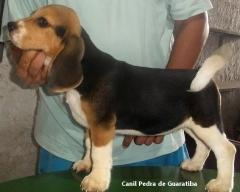 FÊmea disponível! tricolor de preto. nascimento: 01/09/17. visite nossa página! terrier brasileiro fox paulistinha http://www.canilpguaratiba.com/index.html