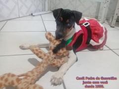 FÊmea disponível! tricolor de preto. nascimento: 01/09/17. visite nossa página! terrier brasileiro fox paulistinha http://www.canilpguaratiba.com/index.html http://www.canilpguaratiba.com/html/filhotes_tb.html