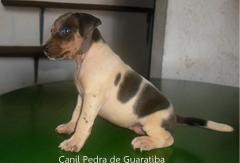 FÊmea disponível para reserva! nascimento: 26/11/17. visite nossa página! terrier brasileiro fox paulistinha http://www.canilpguaratiba.com/index.html