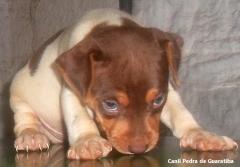Macho disponível para reserva! nascimento: 26/11/17. visite nossa página! terrier brasileiro fox paulistinha http://www.canilpguaratiba.com/index.html