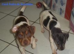 Filhotes disponíveis! fêmea tricolor de azul. macho tricolor de fígado. nascimento: 26/11/17. visite nossa página! terrier brasileiro fox paulistinha http://www.canilpguaratiba.com/index.html