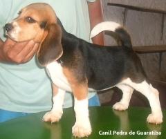 Beagle Canil Pedra de Guaratiba Fêmea Disponível - Chille da Pedra de Guaratiba! Conheça nosso trabalho! Visite nossa página! http://www.canilpguaratiba.com/index.html