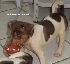 Terrier Brasileiro Pedra de Guaratiba Macho Tricolor de Fígado Disponível! Conheça nosso trabalho! Visite nossa página! http://www.canilpguaratiba.com/index.html