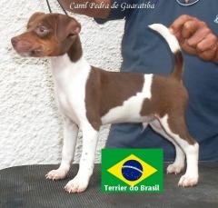 Canil Pedra de Guaratiba 28 anos! Exemplar tricolor de fígado Visite nossa página! Terrier Brasileiro Fox Paulistinha http://www.canilpguaratiba.com/index.html