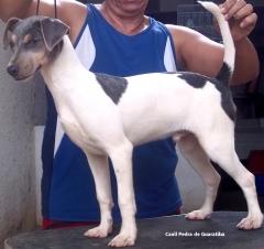 Macho tricolor de azul disponível! Canil Pedra de Guaratiba 28 anos! Visite nossa página! Terrier Brasileiro Fox Paulistinha http://www.canilpguaratiba.com/index.html