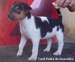 DISPONÍVEL! Macho tricolor de preto! Maiores informações visite nossa página! Terrier Brasileiro Fox Paulistinha http://www.canilpguaratiba.com/html/filhotes_tb.html