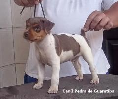 Na Época da Caudectomia! CANIL PEDRA DE GUARATIBA Visite nossa página! Filhotes Disponíveis! Terrier Brasileiro Fox Paulistinha http://www.canilpguaratiba.com/html/filhotes_tb.html