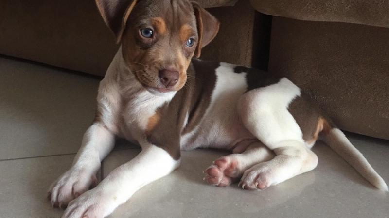 CHESTER DA PEDRA DE GUARATIBA Terrier Brasileiro Fox Paulistinha Macho tricolor de fígado! Nascimento: 27/06/17. Proprietário: Raquel. Visite nossa página! Filhotes disponíveis! http://www.canilpguaratiba.com/html/filhotes_tb.html
