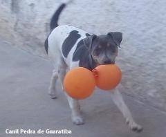 DISPONÍVEL! Fêmea tricolor de azul! Terrier Brasileiro Fox Paulistinha Canil Pedra de Guaratiba - 28 anos! Maiores informações visite nossa página! http://www.canilpguaratiba.com/index.html