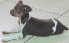 Terrier Brasileiro Fox Paulistinha Filhotes Disponíveis! Canil Pedra de Guaratiba - 28 anos! Visite nossa página! http://www.canilpguaratiba.com/html/filhotes_tb.html