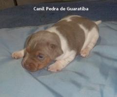 CANIL PEDRA DE GUARATIBA Terrier Brasileiro Fox Paulistinha Macho tricolor de isabela! Gostou? Quer um igual? Entre em contato! ESSE ESTÁ DISPONÍVEL! APROVEITE! Visite nossa página! Temos outros filhotes disponíveis! http://www.canilpguaratiba.com/html/filhotes_tb.html