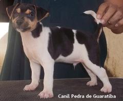 Terrier Brasileiro Fox Paulistinha CANIL PEDRA DE GUARATIBA ESSE ESTÁ DISPONÍVEL! APROVEITE! Entre em contato! Visite nossa página! Temos outros filhotes disponíveis! http://www.canilpguaratiba.com/html/filhotes_tb.html