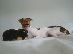 Muito prazer! Me chamo Kiko! KIKO DA PEDRA DE GUARATIBA Terrier Brasileiro (Fox Paulistinha) Nascimento: 04/06/15. Proprietário: Paulo Cesar. Visite nossa página! Filhotes disponíveis! http://www.canilpguaratiba.com