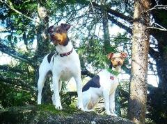 UMA DUPLA ESPECIAL! BENTO E ZOÉ! Terrier Brasileiro (Fox Paulistinha) Proprietário: Moacy. Visite nossa página! Filhotes disponíveis! http://www.canilpguaratiba.com
