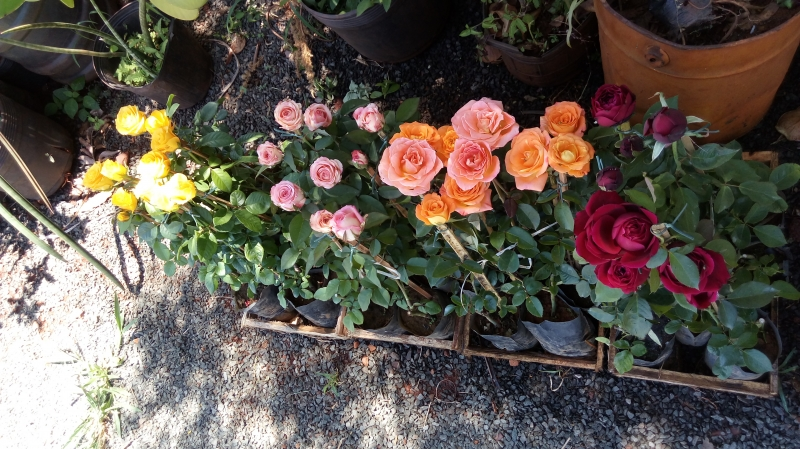 Rosas varias espécies
