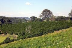 Lavoura de café no sítio córrego do pinheiro, com vegetação e serras ao fundo