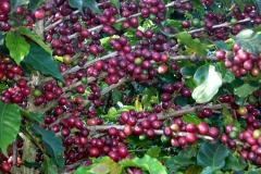 árvore carregada de grãos de café maduros (cereja)