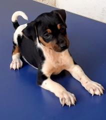 Polaska da pedra de guaratiba  fêmea tricolor de preto! nascimento: 12/11/2020. proprietária: adriana. para ver mais visite nossa página! http://www.canilpguaratiba.com  contatos: e-mail: canilpguaratiba@gmail.com  fone/zap: (21)98168-5544