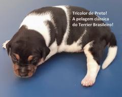 Macho tricolor de preto disponível! reserve o seu!  zap: (21)98168-5544 e-mail: canilpguaratiba@gmail.com site: http://www.canilpguaratiba.com