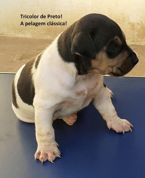TRICOLOR DE PRETO! A pelagem clássica! Macho Disponível! Canil Pedra de Guaratiba! Zap: (21)98168-5544 E-mail: canilpguaratiba@gmail.com Site: http://www.canilpguaratiba.com