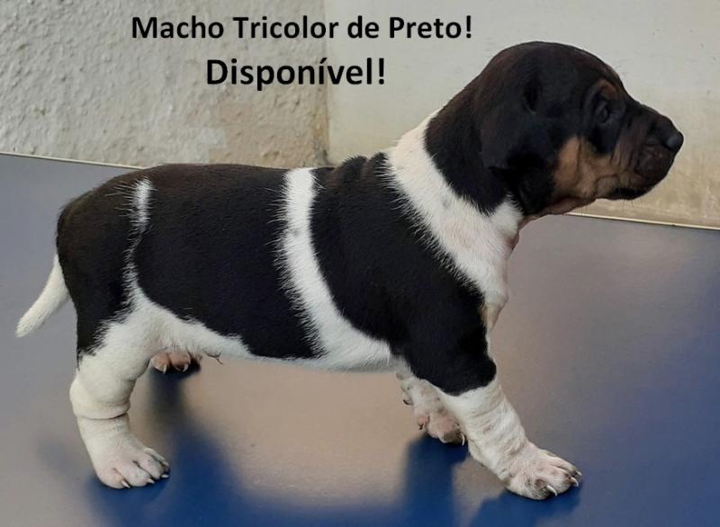 A pelagem tradicional do Terrier Brasileiro! Tricolor de Preto! Macho disponível! E-mail: canilpguaratiba@gmail.com  Zap: (21) 98168-5544 Site: http://www.canilpguaratiba.com