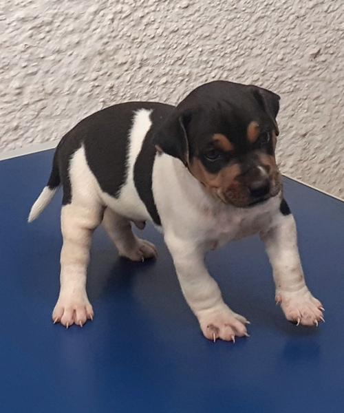 DISPONÍVEL! Terrier Brasileiro! Filhote tricolor de preto! Sexo: masculino. Canil Pedra de Guaratiba! Zap: (21) 98168-5544 E-mail: canilpguaratiba@gmail.com  Site: http://www.canilpguaratiba.com