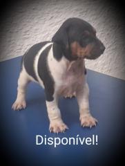 Fox paulistinha! disponível macho tricolor de preto! canil pedra de guaratiba! zap: (21) 98168-5544 e-mail: canilpguaratiba@gmail.com  site: http://www.canilpguaratiba.com