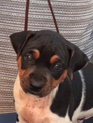 Terrier brasileiro (fox paulistinha)! lindo macho tricolor de preto! disponível! companheiro insuperável!  excelente cão de alarme!  temperamento equilibrado! tipicidade! beleza! vacinado, vermifugado (amplo espectro e específica), pedigree cbkc/fci. canil pedra de guaratiba! 31 anos de criação! whatsapp: (21) 98168-5544. e-mail: canilpguaratiba@gmail.com site: http://www.canilpguaratiba.com