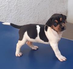 Terrier brasileiro carinhoso e vivaz! companheiro inseparável! idolatra seu líder! excelente cão de alarme! noção de território insuperável! temperamento equilibrado! tipicidade! beleza! macho tricolor de preto! disponível! canil pedra de guaratiba! 31 anos de criação! whatsapp: (21) 98168-5544. e-mail: canilpguaratiba@gmail.com  site: http://www.canilpguaratiba.com  canal you tube:  https://youtu.be/okdlbh9snb4