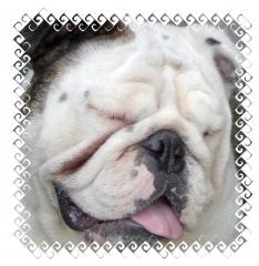 Chorão moonspark *bulldog ingles* (padreador)