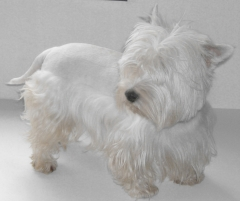 Keller Moonspark *West Highland White Terrier* - Padreador