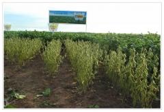 Dia de campo - lanÇamento de novas variedades de soja