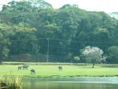 Lago e vacas na entrada