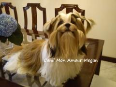 Foto 18 animais no Santa Catarina - Canil mon Amour Megan - Shih tzu - Filhotes